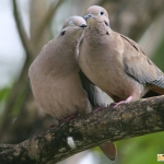 doves courting