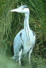 linklater heron