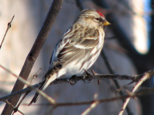Common_redpoll