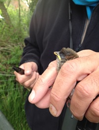 young tree sparrow being ringed