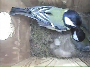 2016.04.26 - Lady Joanna - great tits feeding